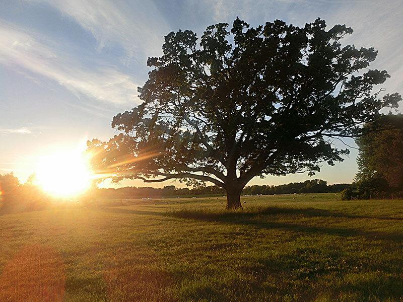 eken-i-solnedgang