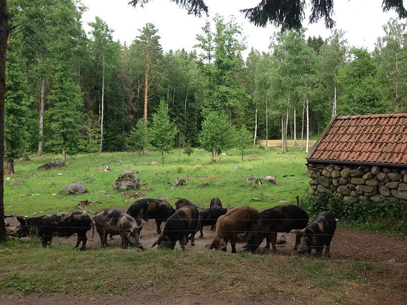 grisar-framfor-stenhuset