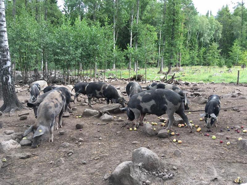 grisar-och-applen